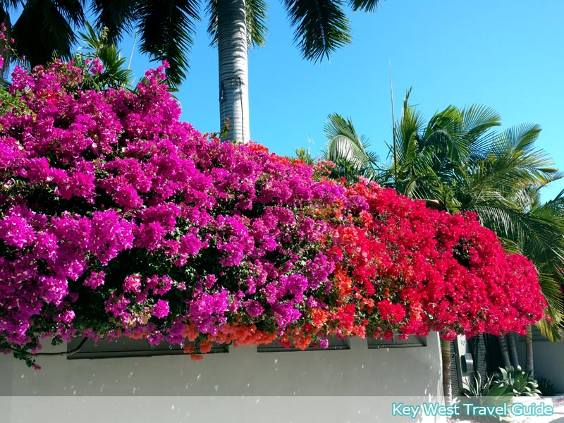 Hedge of colorful bougainvillea in historic Key West, Florida