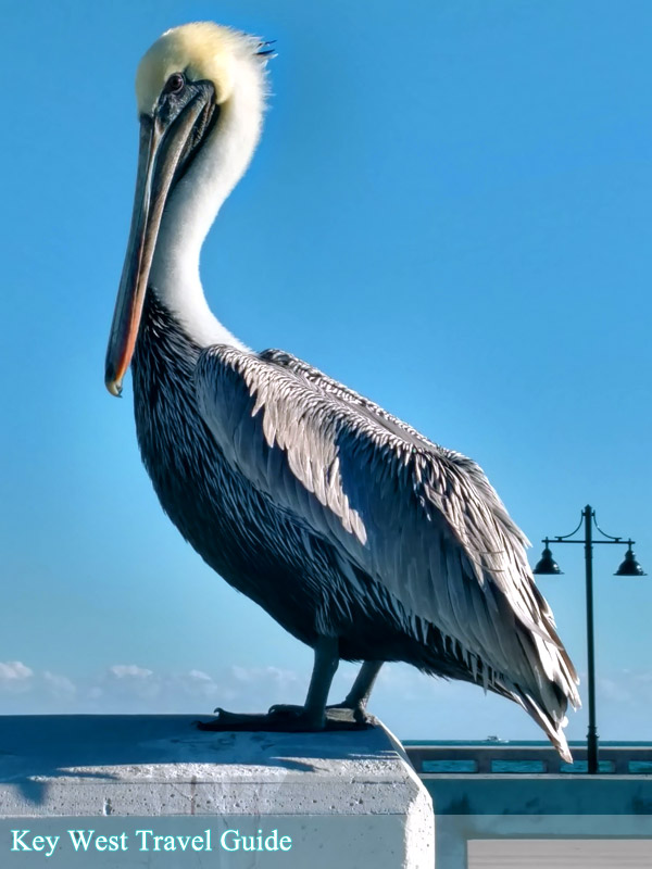 Brown pelican on pier in Key West, Fl