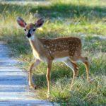 Key Deer, native to the Florida Keys