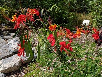 Dwarf poinciana at the Key West Botanic Garden