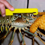 Measuring a spiny lobster for carapace length, a requirement
