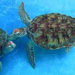 Sea turtles, a protected species in the Florida Keys and elsewhere