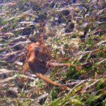Octopus in the turtle grass near Key West