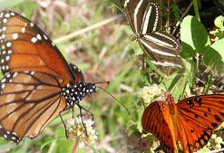 Butterflies inside the conservatory